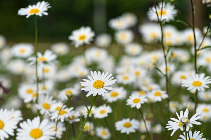 paquerettes.fleurs.camillebavarde